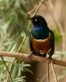 Colourful song bird